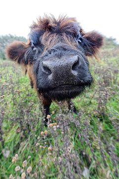 Veau Highlander écossais sur Tilly Meijer