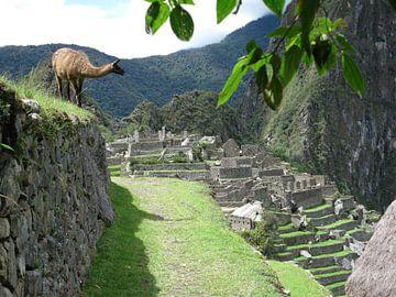 Lama in Machu Picchu (Peru) van Bart Muller