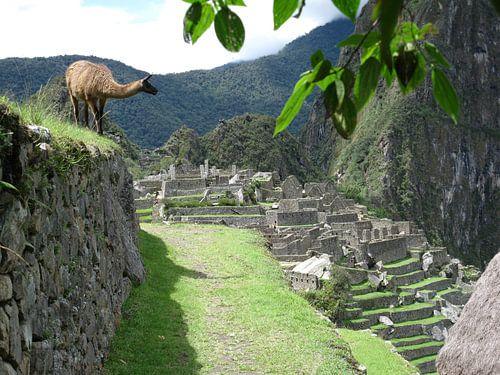 Lama in Machu Picchu (Peru) von Bart Muller