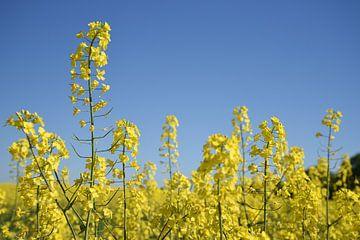 Raps- oder Canola-Pflanze in einem Feld, Nahaufnahme des gelb blühenden Ölrapses vor einem klaren bl von Maren Winter