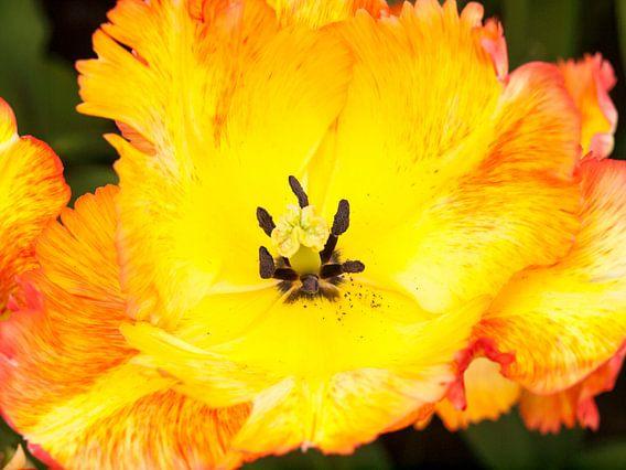 Show Tulip Yellow Red von David Hanlon