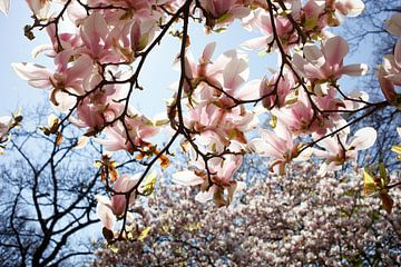 Rosa, Magnolie, Magnolien, Blüte, Blume, Blumen, Closeup von Torsten Krüger