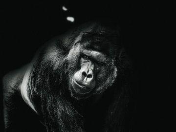 Gorilla 2 von mario proeter