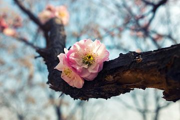 Schöne Blüte im Frühling von Chihong