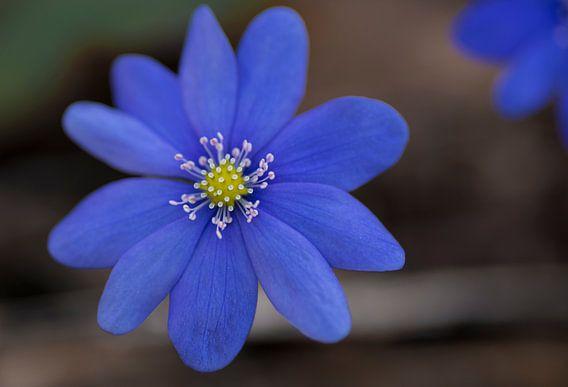 blauwe bosanemoon van arjan doornbos