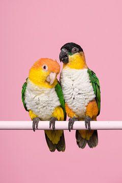 Caique papegaaitjes van Elles Rijsdijk