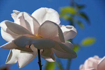 weiße Rose von unten belichtet von wil spijker