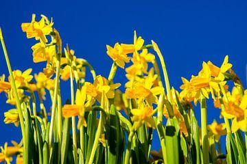 Gele Narcissen van Jan van Broekhoven