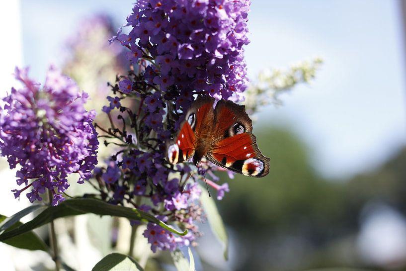 Vlinder op paarse bloem van Erik Koks