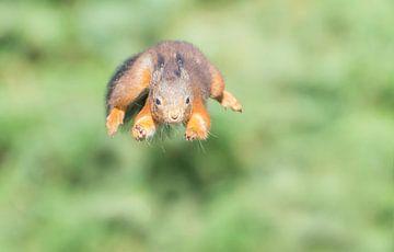 Springende eekhoorn van Anna Stelloo