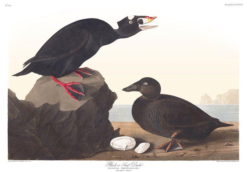 Brilzee-Eend van Birds of America