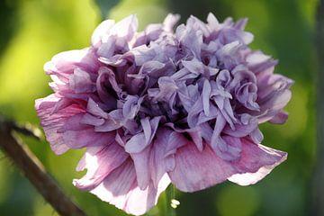 Lila bloem  sur xander blaak
