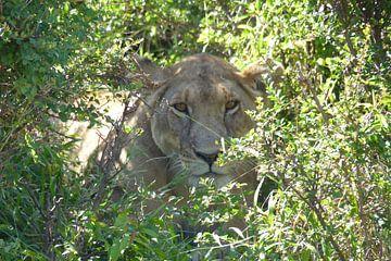 Hidden lion van Daisy Janssens