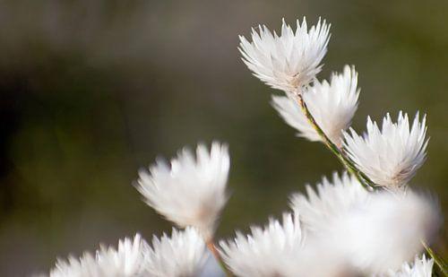 Witte bloemen II #pantheraafrica