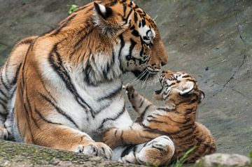 Sibirischer Tiger : Tierpark Amersfoort von Loek Lobel