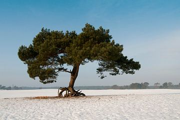 Soester Duinen in Soest, the Netherlands - Walking tree von Tamara Witjes
