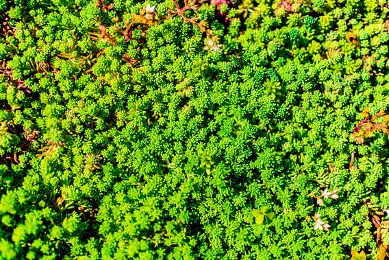 Light Green Succulent Carpet