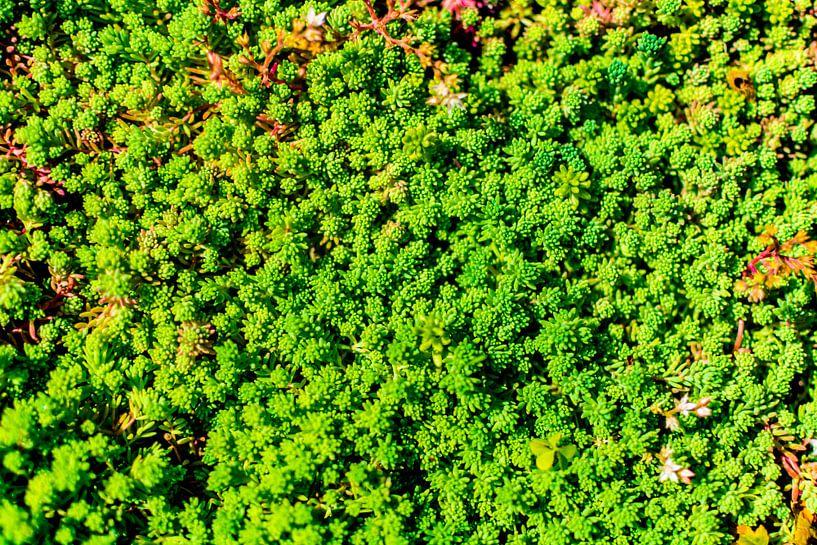 Light Green Succulent Carpet sur Arc One
