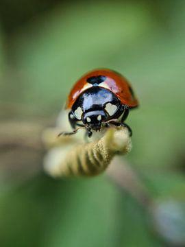 Lieveheersbeestje van Brigitte Hofman-Balfoort