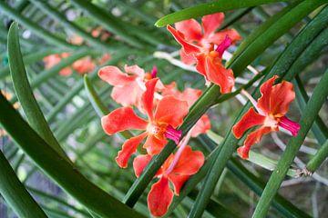 Zwergorchidee in rot von Babetts Bildergalerie