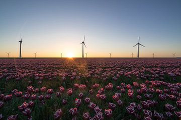 Tulpen und Windmühlen von