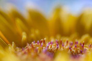 Gerbera (Makrofoto) von Eddy Westdijk