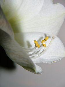 amaryllis, stampers, Amaryllis, Stampfer, amaryllis, estampeurs van Evelien Brouwer