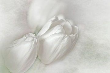 White Tulips sur
