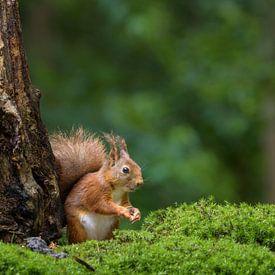 Eurasian red squirrel in a forest von Richard Guijt