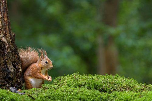 Rode eekhoorn in het bos van Richard Guijt