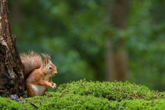 Rode eekhoorn in het bos