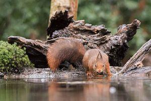 Eekhoorn aan de waterkant van Karin van Rooijen Fotografie