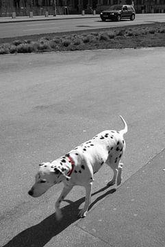 Dalmatian dog sur Pim Michels