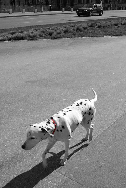 Dalmatian dog van Pim Michels