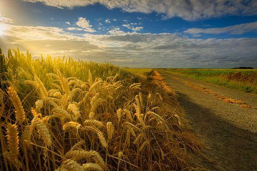 Een graanveld met een oude landweg in de zomer in Groningen