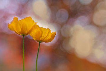 Oranje Spring delight - Oranje Klaprozen van Brigitte van Krimpen