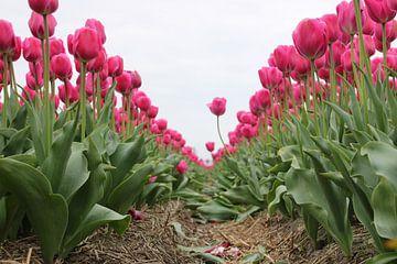 Tulpen van Feya Nolet