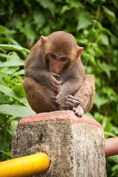 jeune macaque sur Adri Vollenhouw