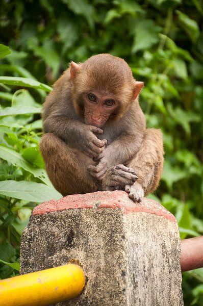 Jonge makaak van Adri Vollenhouw