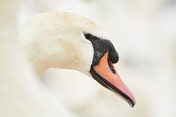 Portret van een Zwaan