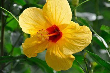 Gele bloem met rode binnenkant  von Anneke Wever