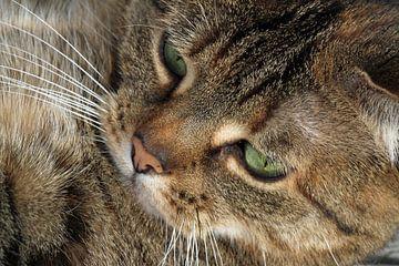 Close-up van cyperse kat van Marieke Funke