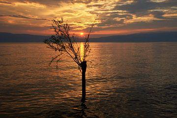 Wilg in het meer van Ohrid bij ondergaande zon