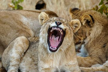 Een portret van een geeuwend leeuwenwelpje. van Gunter Nuyts