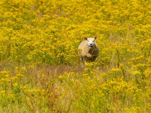 Schaap tussen de gele bloemen