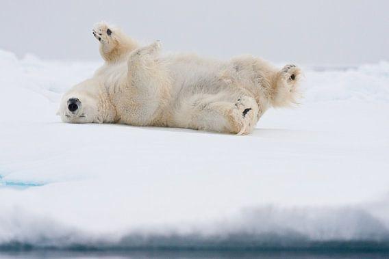 Ijsbeer rolt op zijn rug door sneeuw