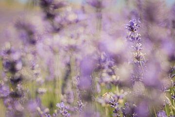 Lavendel von Andrea Fuchs