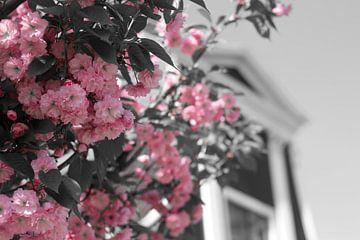 Colorsplash roze lentebloesem in de Zaanstreek von jono broers