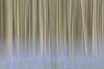 Beukenbomen met de blauwe gloed van de boshyacinten van