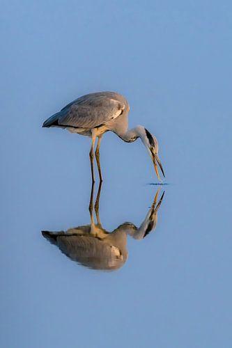 Spiegeltje Spiegeltje ( Blauwe Reiger )